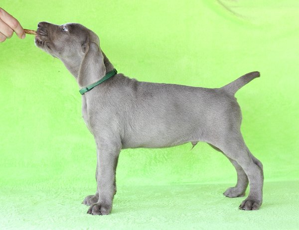 puppy-dog-breed-slovakian-rough-haired-pointer-2-1-1