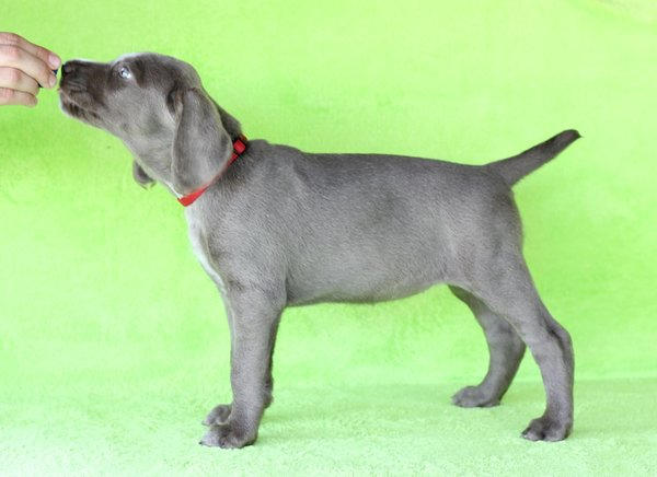 puppy-dog-breed-slovakian-rough-haired-pointer-7-1-1