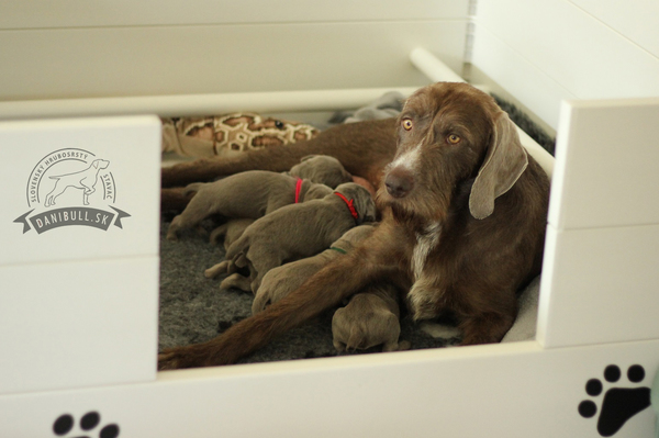 slovakian-rough-haired-pointer-puppies-(1)