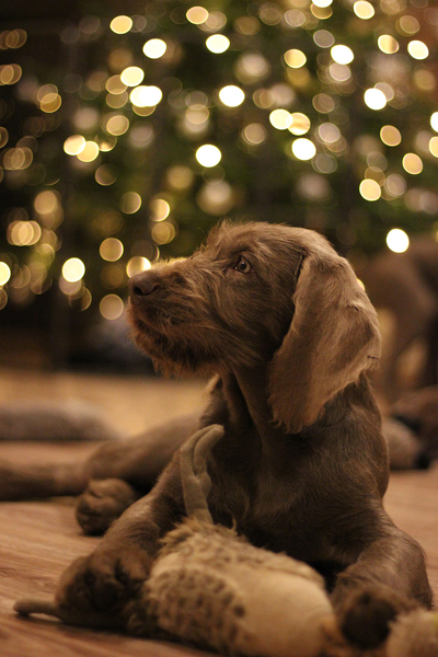 slovakian-rough-haired-pointer-puppy-xmass