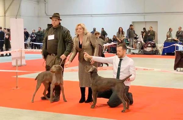 slovakian-wire-haired-pointer-dog-show-1