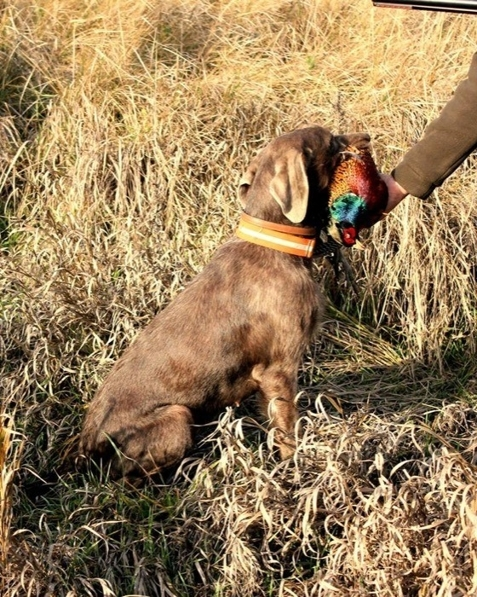 slovakian-wire-haired-pointer-gundog-hunting-dog-(3)