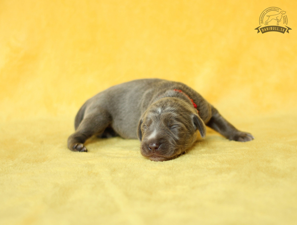 slovakian-wire-haired-pointer-puppies-(3)